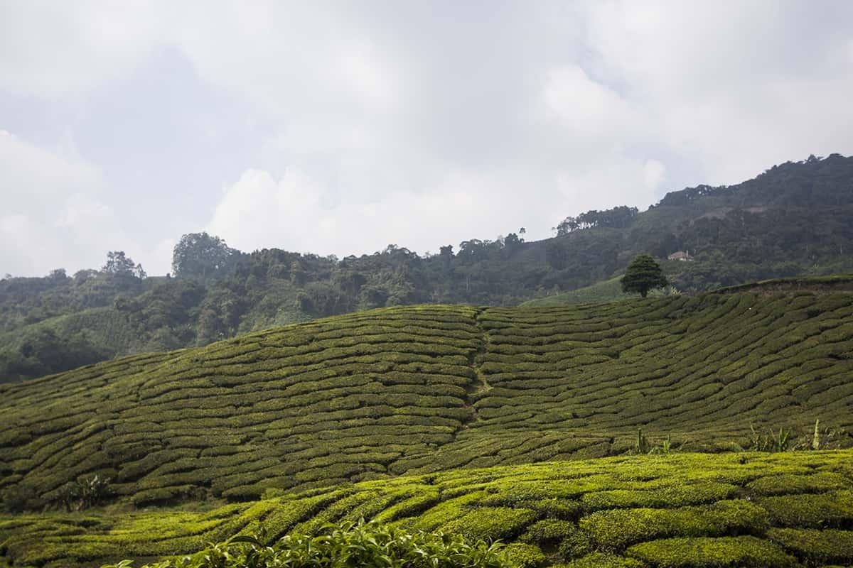 Cameron Highlands Malaysia: Teefelder