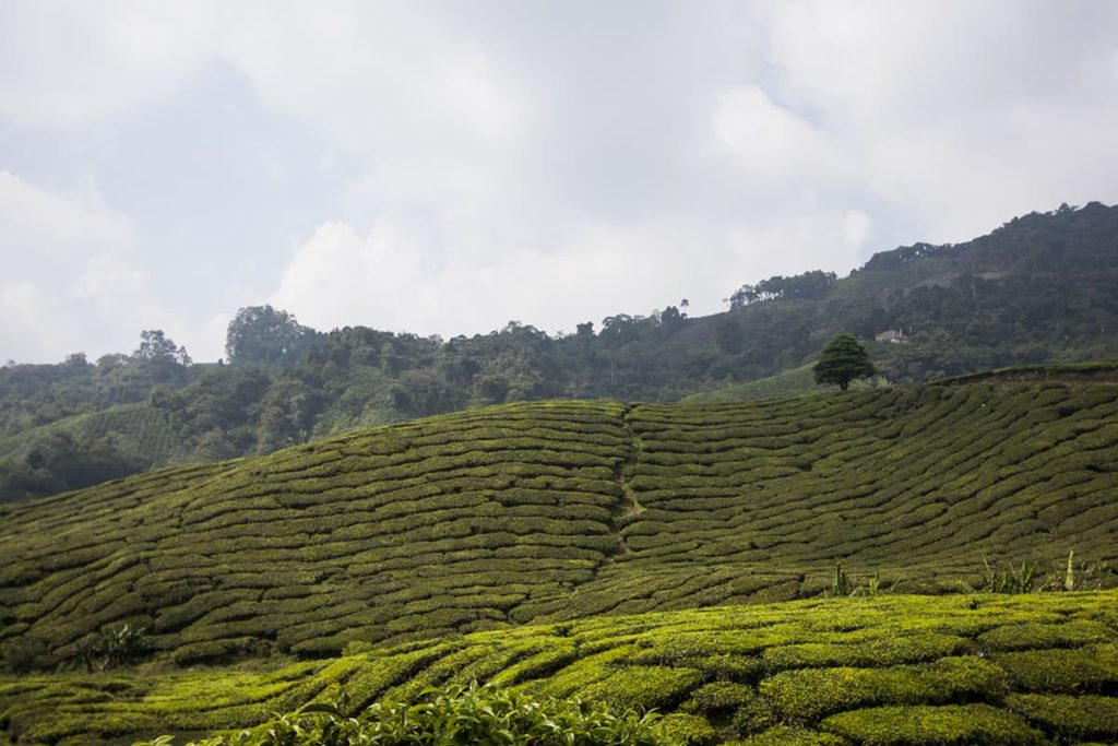 Cameron Highlands Malaysia Teefelder mit Baum