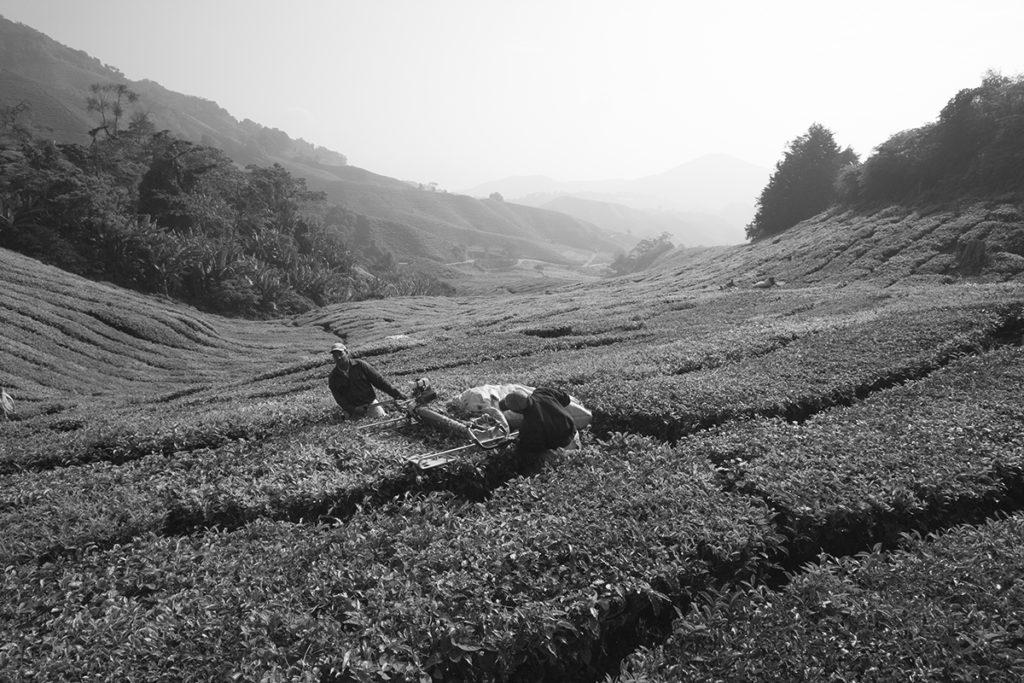 Teefelder in Cameron Highlands Malaysia