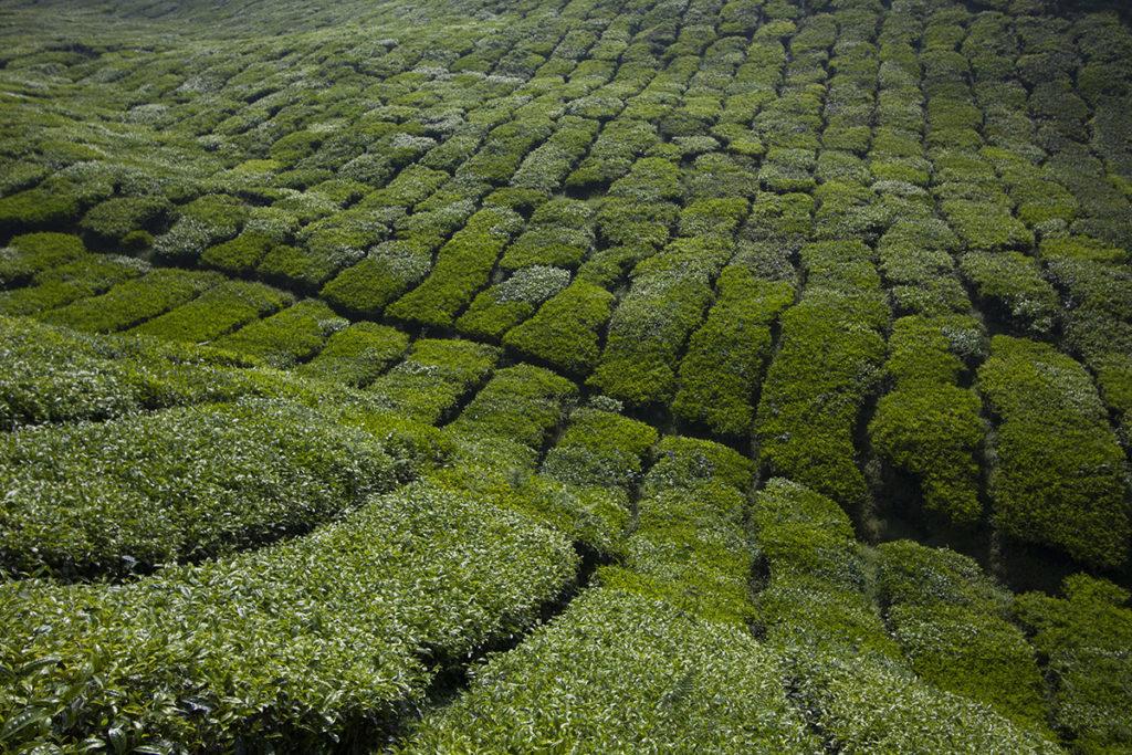 buschiger Tee