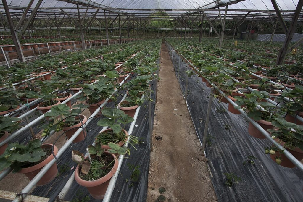 Erdbeerplantage in Cameron Highlands