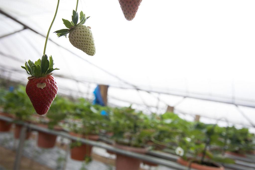 Erdbeere in Malaysia