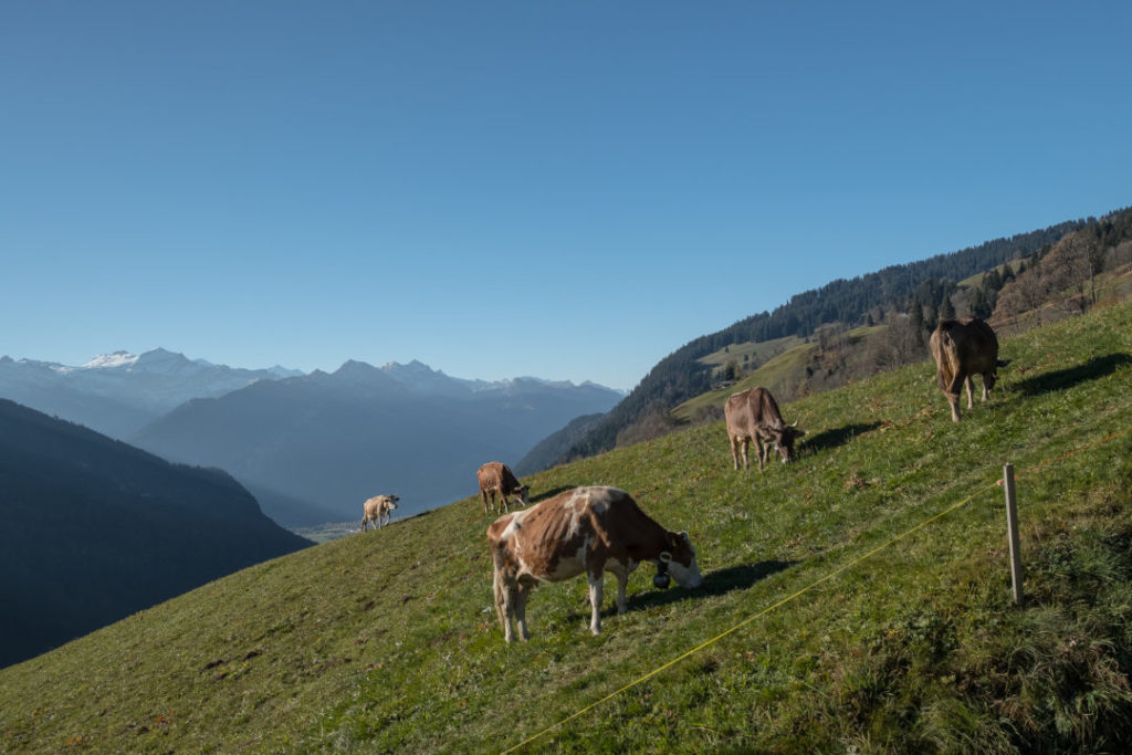 Kühe im Berner Oberland