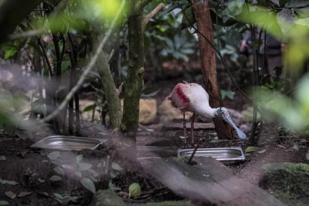 rosa schnabel vogel