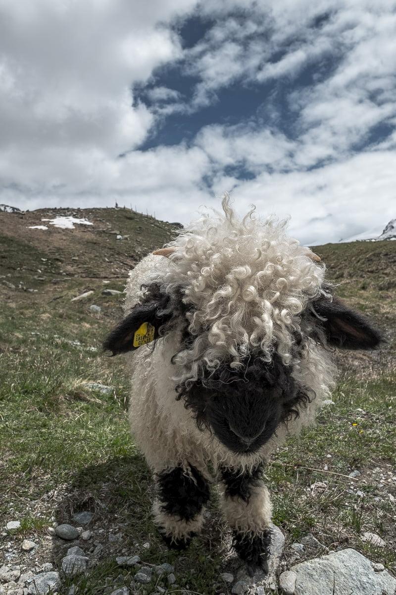 schwarznasenschaf-zermatt-wallis