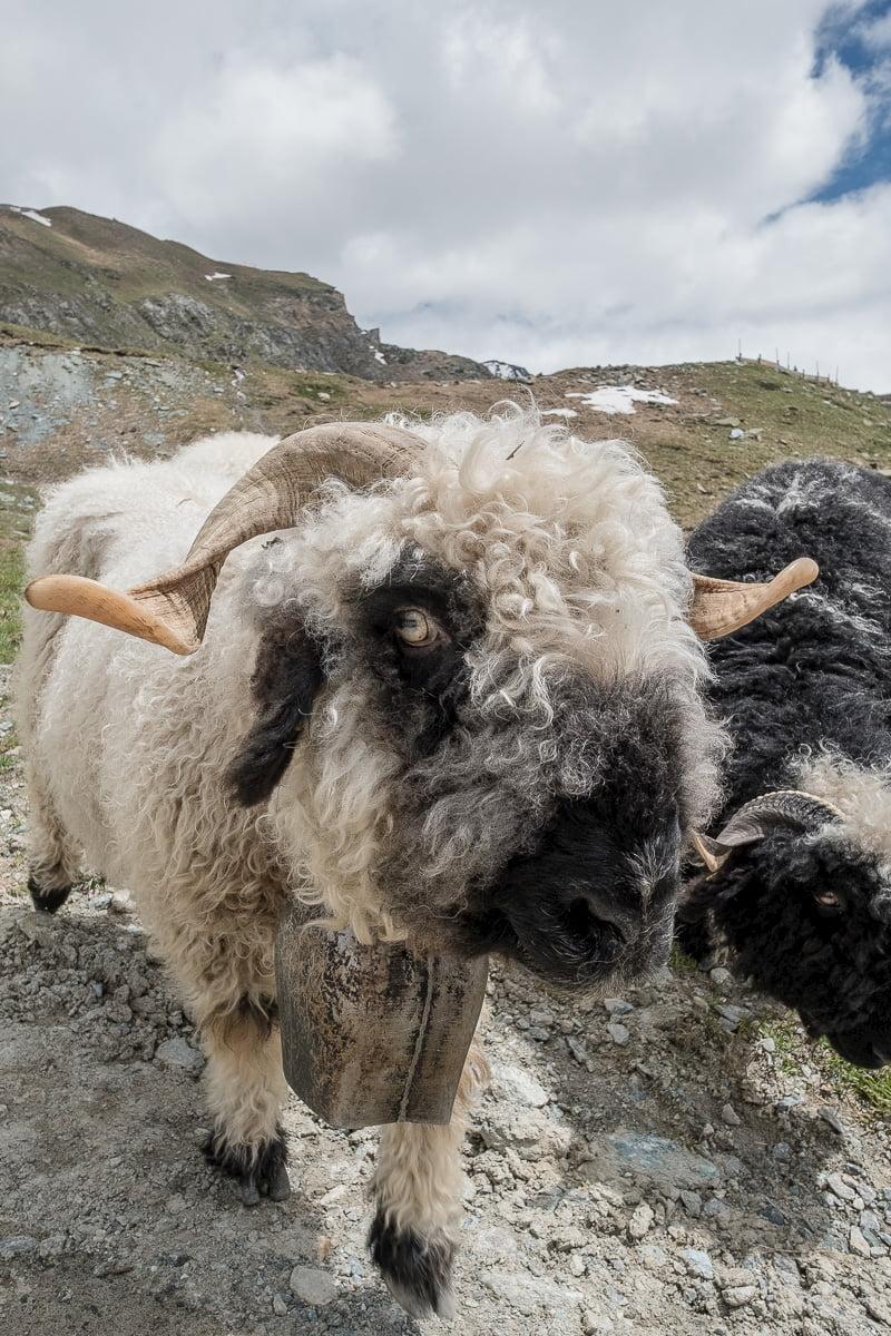 walliser-schwarznasenschaf-zermatt