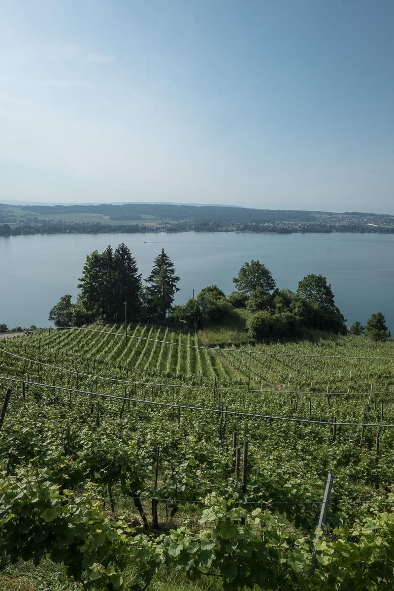 Weinreben im Berner Seeland